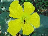 Κολοκύθια σπορά φύτεμα καλλιέργεια