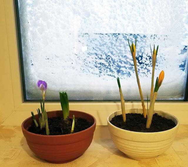 нежные крокусы в снежном феврале, выгонка луковичных, мой опыт