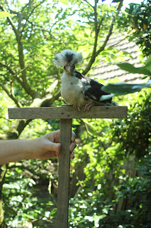 Tolbunt Polish Chick organically raised