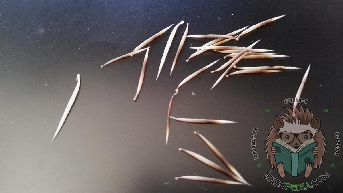 Puas desprendidas producto de la muda de puas en erizos de tierra