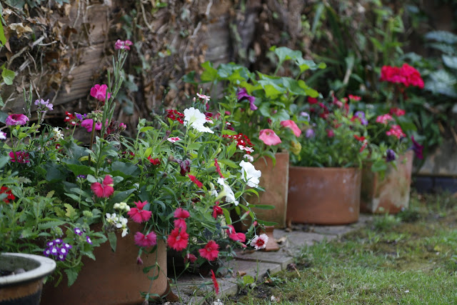 Summer Pots & Baskets with Petunia, Lobelia, Geranium, Verbena, Stocks & Dianthus