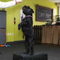 McElyea standard schnauzer pet therapy