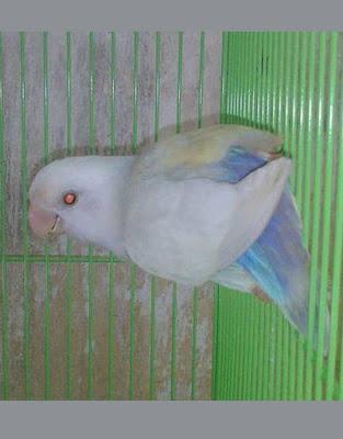 mengenal love bird pale fallow