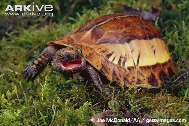 Indochinese box Turtle