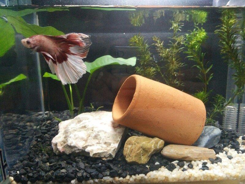 Do Betta Fish Need Rocks Image