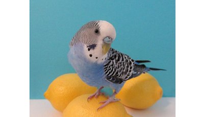 Budgie Care