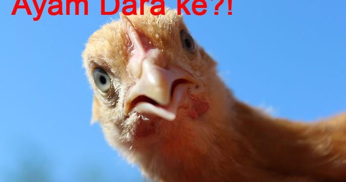 Apa Itu Ayam Dara? Dara Macam Mana tu - Ismiqbal - Papa ...