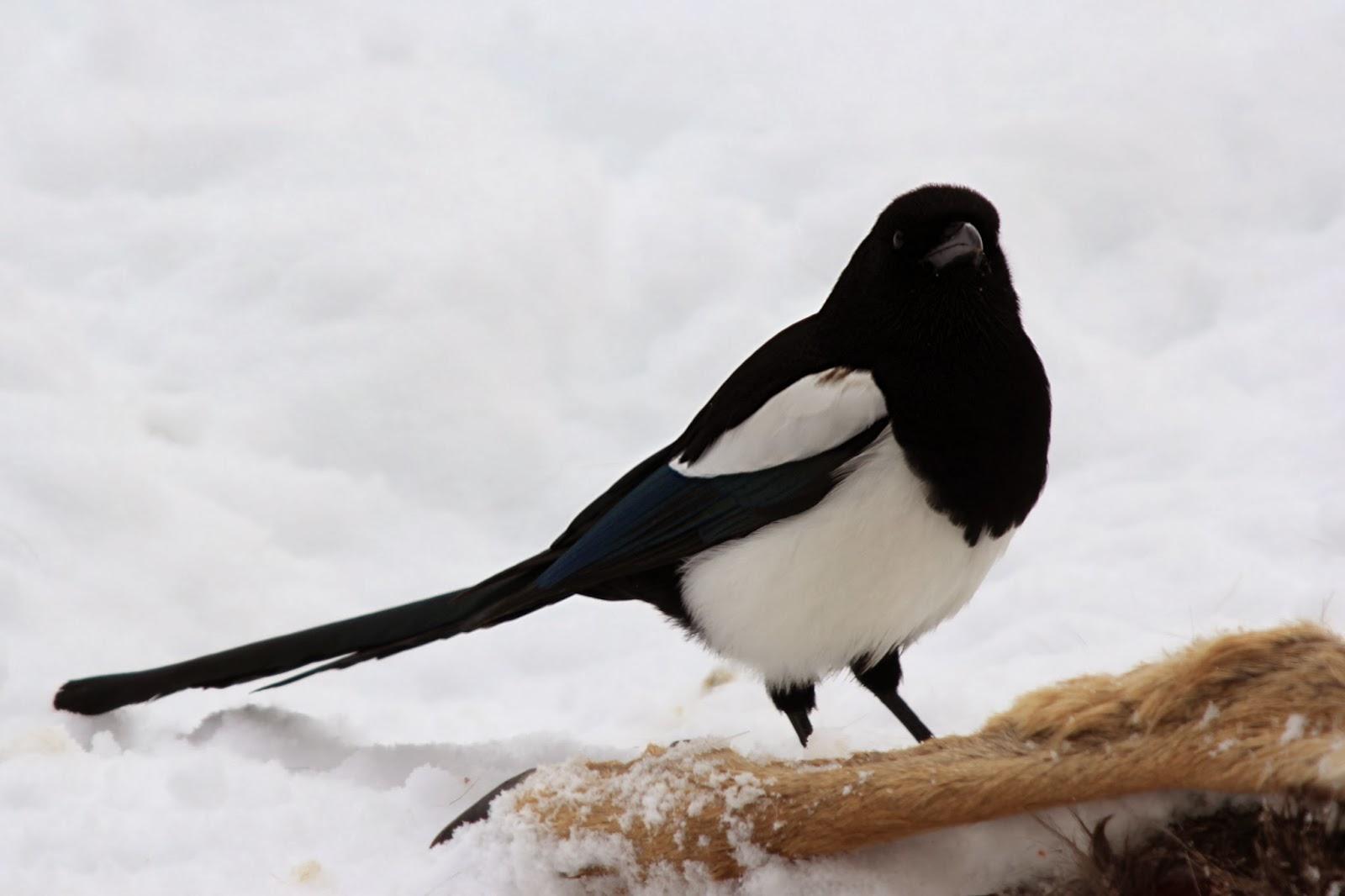 utah magpie birds bird birders billed