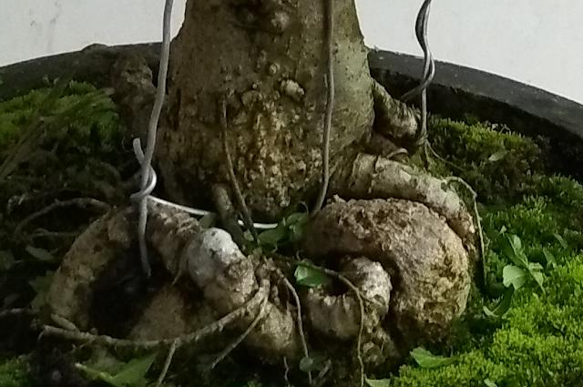 Adalah nama ilmiah dari tanaman yang sangat populer di pecinta tanaman hias di nusantara Serut (Streblus Asper)