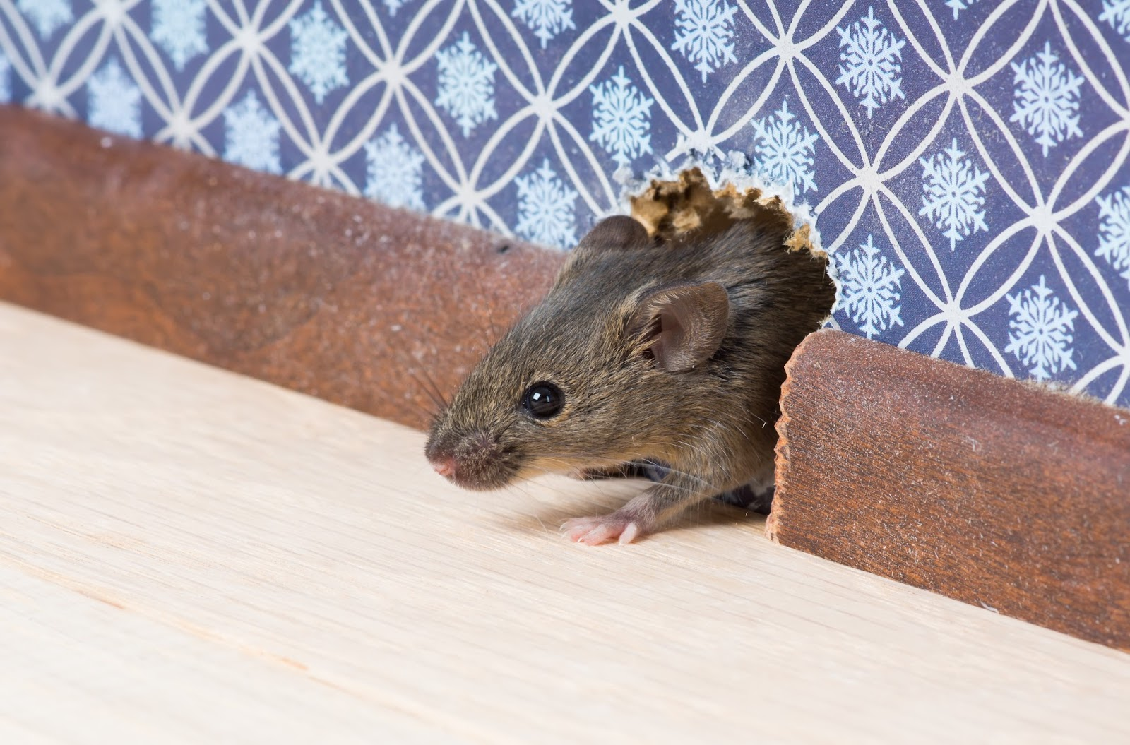 how to get rid of mice if you have cats