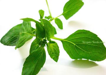 Benefícios da Alfavaca
