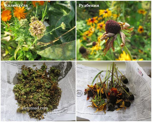 семена календулы, ноготков, рудбекии, волосистой, свои семена, сбор семян, аленин сад