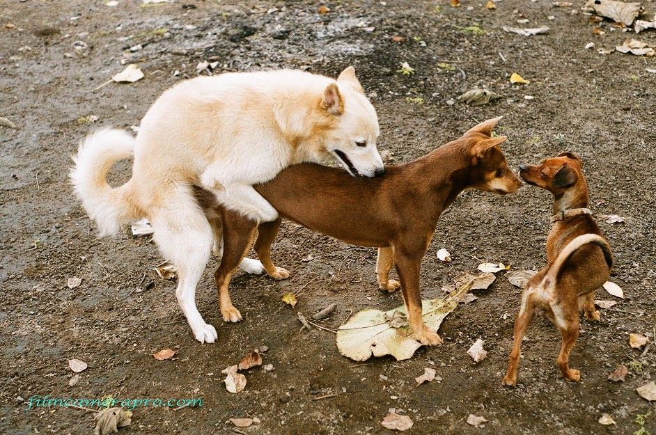 mating dogs
