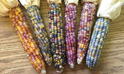 اغرب انواع الذرة في العالم