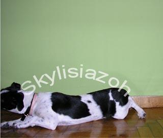 εκπαίδευση σκύλων εντολή ξάπλα 5