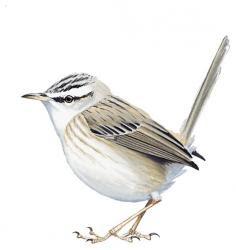 Streaked Scrub-warbler