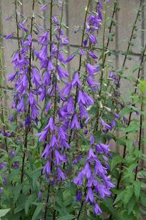 Adenophora Cultivo y Cuidados Plantas vivaces