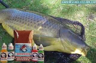 Essen Umpan Ikan Mas Indukan