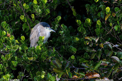 Sleeping bird heron in tree
