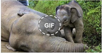 شاهد ماذا فعل هذا الفيل الصغير بعد ان وجد امه جثة هامدة لن تتخيل سبحان الله