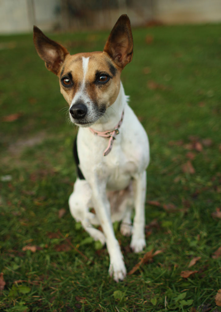 jack russel terrier mix nina fox and jack russell terrier mix 7019