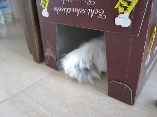 cobaya jugando con caja de carton