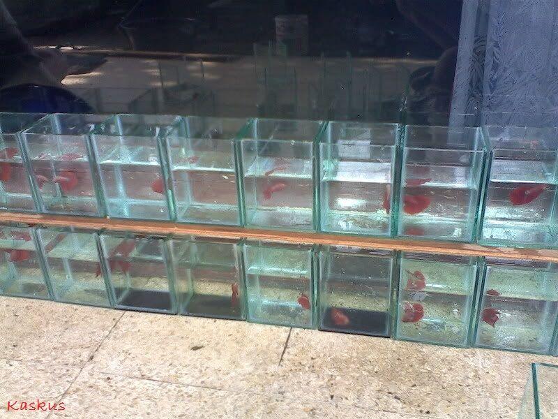 Gambar Cara Agar Cupang Jantan Tidak Makan Telur Ketika Ternak Ikan Cupang