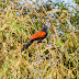 Greater coucal (Chim bìm bịp)