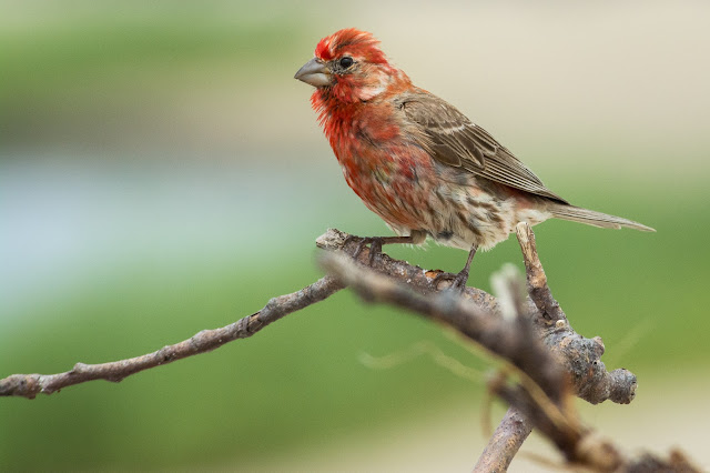 House Finch, Monomoy National Wildlife Refuge