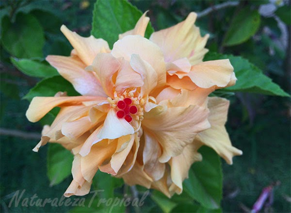 Flor de planta perteneciente al género Hibiscus, variedad moñuda blanca