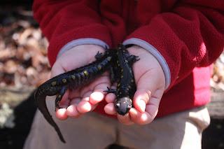Salamander Schwarz Gelb