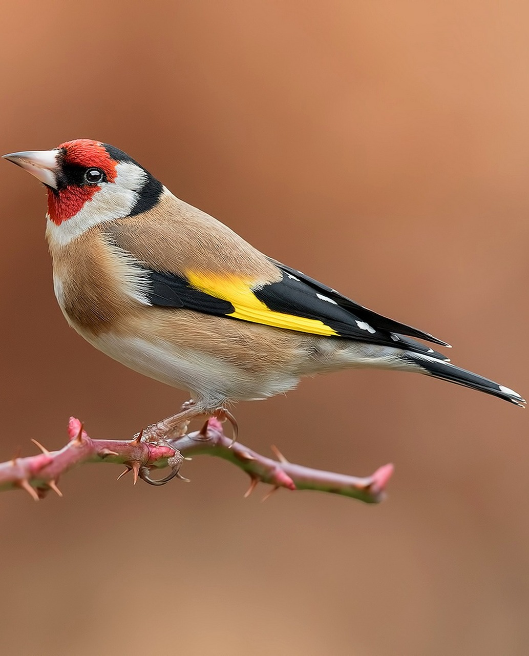 Beautiful and colorful goldfinch.