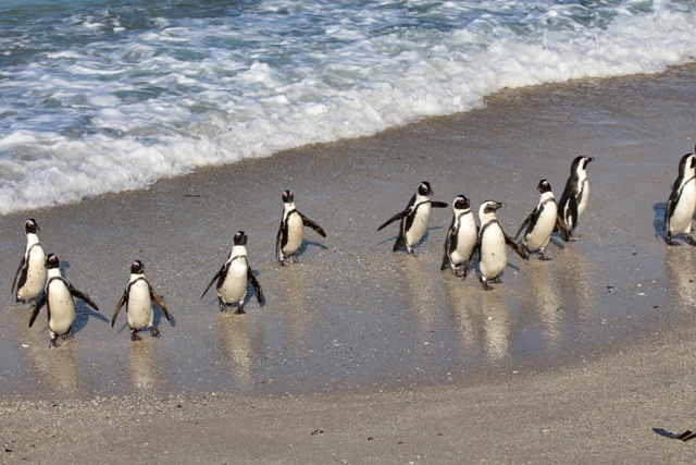 Pingüinos de Boulders Beach en Simons Town