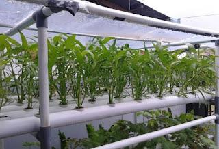 Spinach Hydroponics