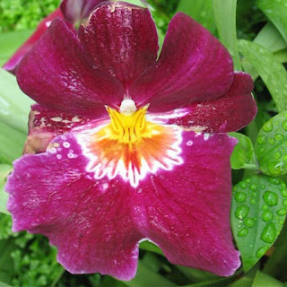 Gambar Bunga Anggrek Tercantik di Dunia 20