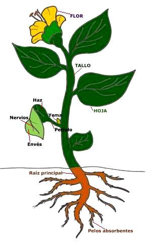 Dibujo de una planta indicando sus partes a colores