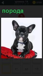 Породистая собака сидит на красной подушке, показывая себя во всей красе на выставке