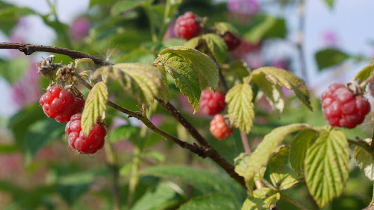 Wild Food Identification - Raspberry