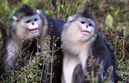 monyet berhidung pesek