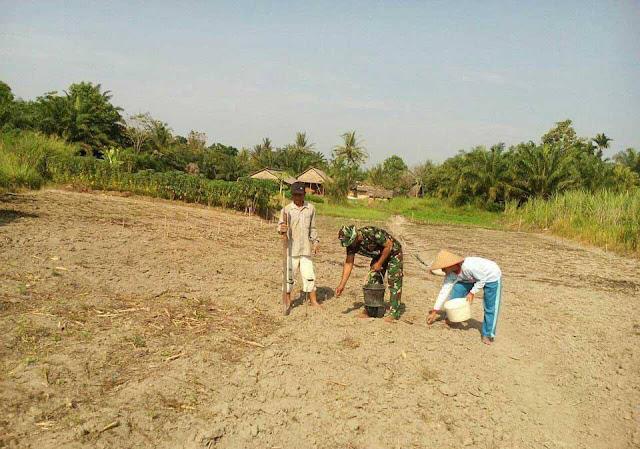 Babinsa Dampingi Petani Tanam Bibit Jagung Seluas 8 Rante, di  Desa Suka, Langkat
