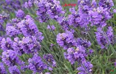 lavender flower, lavender