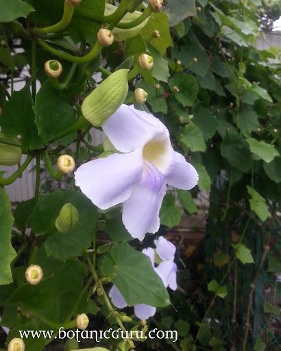 Thunbergia grandiflora, Clock Vine, Skyflower Vine, Blue Trumpet flower side view