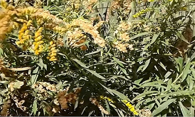 Arnica (Lychnophora Ericoides)