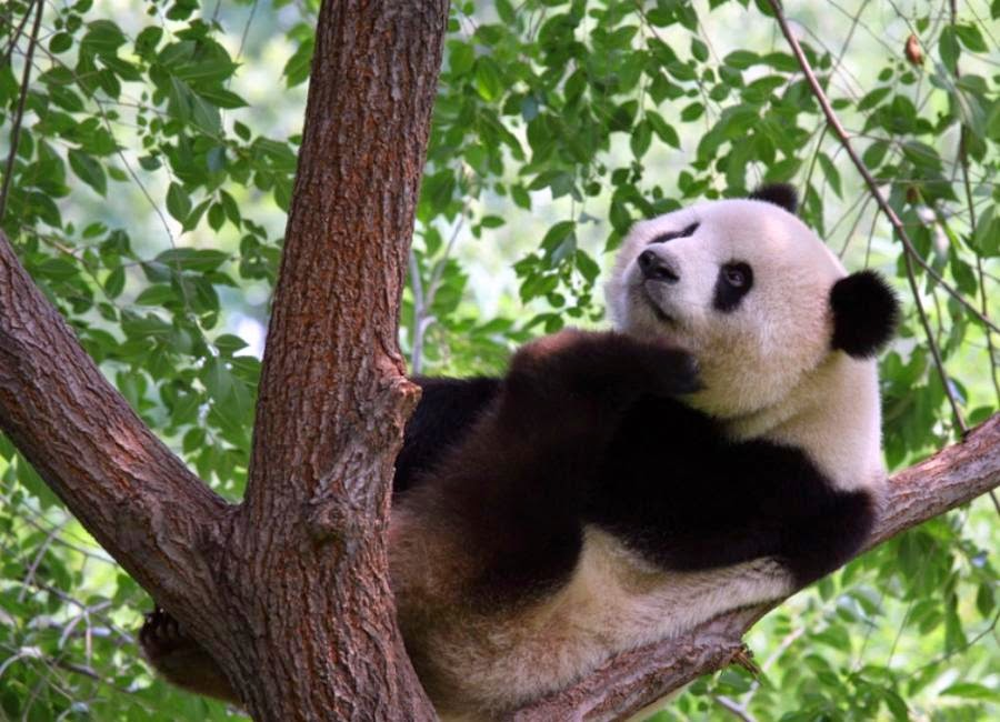 Imagenes Osos Panda: Foto Oso Panda Sobre Un Arbol [30-8-17]