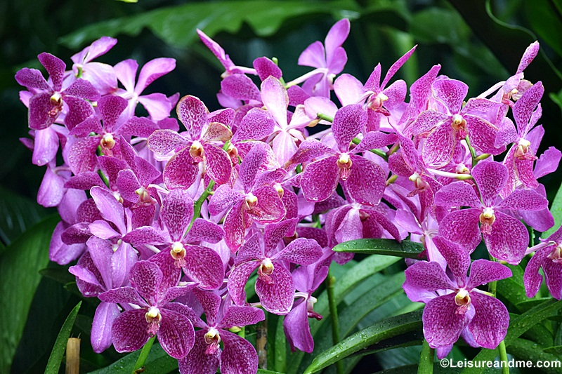 Orchids from National Orchid Garden of Singapore by @slfoodcorner