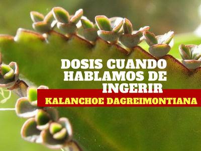 La dosis de Kalanchoe daigremontiana en forma de hojas considerada segura es de unos 5 gramos por kilo
