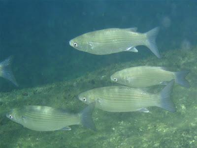 Fische beim Tauchen im Atlantik