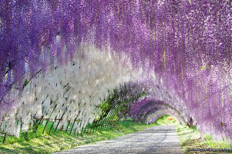 Terowong Bunga Wisteria, Jepun