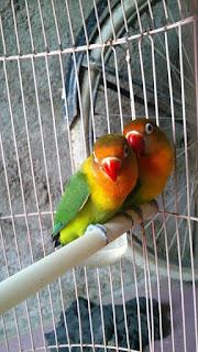 Cara Menjodohkan Lovebird Dewasa Dengan Cepat