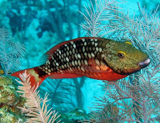 Scaridae (ikan kakak tua)